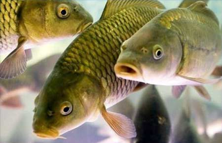 аттрактанты для мирной рыбы