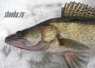 ловля судака с флэшером для зимней рыбалки VEXILAR HUMMINBIRD MarCum