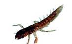 насекомые которых имитирует безмотылка